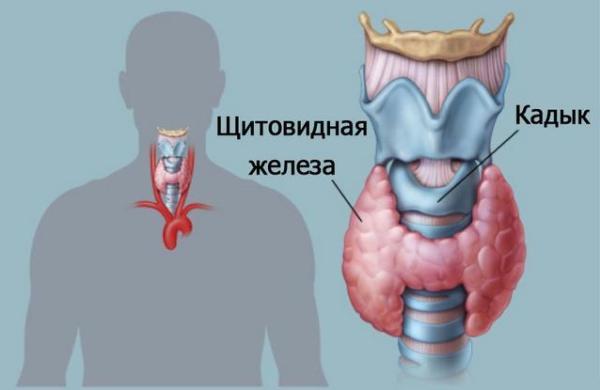 Щитовидка и кадык